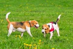 Cães que jogam no parque Fotografia de Stock