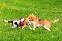 Cães que jogam no parque Foto de Stock