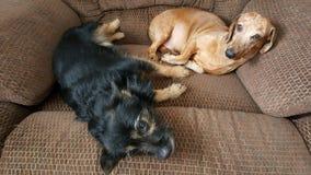Cães que lounging na cadeira confortável fotografia de stock