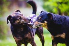 Cães que lutam e que jogam Fotos de Stock Royalty Free