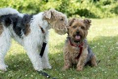 Cães que socializam no parque Foto de Stock Royalty Free