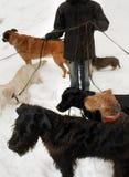 Cães que vão para uma caminhada Foto de Stock