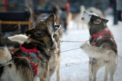 Cães roncos Fotografia de Stock