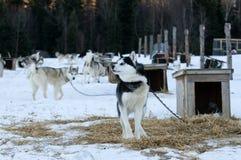 Cães roncos Foto de Stock Royalty Free