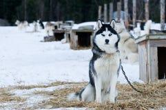 Cães roncos Imagem de Stock