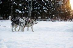 Cães (roncos) em uma equipe em um por do sol do fundo Foto de Stock
