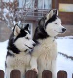 Cães roncos no inverno fotografia de stock royalty free