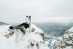 Cães roncos no parque do inverno em Rússia, Sibéria imagem de stock