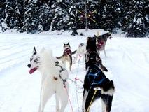 Cães roncos que puxam o trenó Imagens de Stock Royalty Free