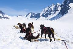 Cães roncos que relaxam após uma raça imagens de stock