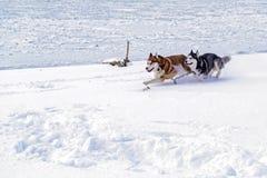 Cães roncos Siberian que correm rapidamente através da neve Dois cães roncos corridos no rio congelado do inverno fotografia de stock royalty free