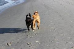 Cães Running Fotografia de Stock Royalty Free