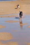 Cães Running Foto de Stock Royalty Free