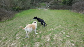 Cães salgueiro e Sam Imagens de Stock