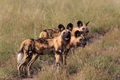 Cães selvagens Fotos de Stock Royalty Free