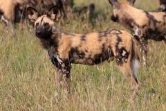 Cães selvagens Fotografia de Stock Royalty Free