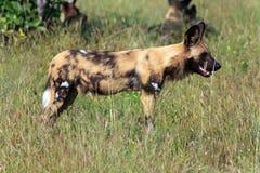 Cães selvagens Foto de Stock Royalty Free