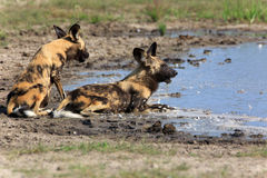 Cães selvagens Fotos de Stock