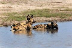 Cães selvagens Imagens de Stock