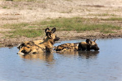 Cães selvagens Imagens de Stock Royalty Free