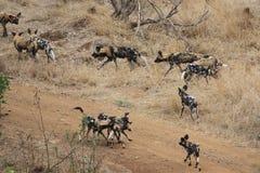 Cães selvagens africanos Foto de Stock