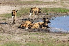 Cães selvagens africanos fotografia de stock royalty free