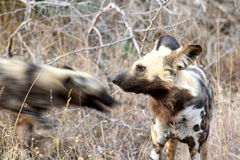 Cães selvagens africanos no arbusto africano fotografia de stock