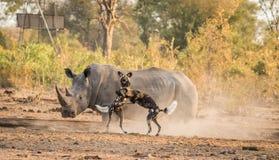 Cães selvagens africanos que jogam na frente de um rinoceronte branco Imagens de Stock
