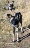 Cães selvagens em Namíbia Fotografia de Stock Royalty Free