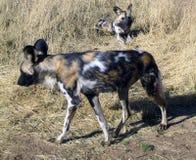 Cães selvagens em Namíbia Fotos de Stock Royalty Free