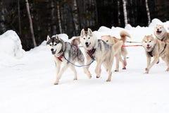 Cães Siberian povos conduzidos do trenó no norte Imagem de Stock Royalty Free