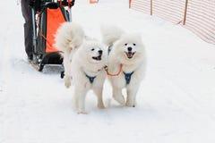 Cães Siberian povos conduzidos do trenó no norte Imagens de Stock Royalty Free
