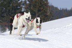 Cães Sportive na montanha Fotos de Stock