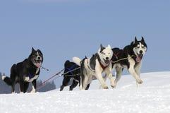 Cães Sportive na montanha Imagens de Stock Royalty Free