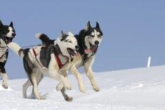 Cães Sportive na montanha Fotografia de Stock
