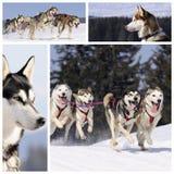 Cães Sportive na neve Fotografia de Stock Royalty Free