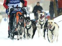 Cães, trenós e mushers em Pirena 2012 Foto de Stock