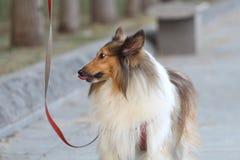 Cão áspero do Collie Imagem de Stock