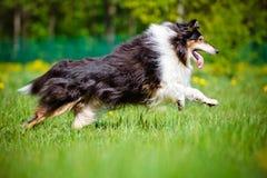 Cão áspero preto da collie Imagem de Stock