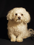 Cão 2 Imagem de Stock