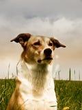 Cão (193) Imagem de Stock Royalty Free