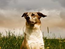 Cão (194) Fotografia de Stock Royalty Free