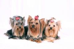 Cão Imagem de Stock Royalty Free