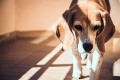Cão abandonado do lebreiro Olhos tristes do cão disperso imagem de stock royalty free