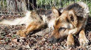Cão abandonado, pastor alemão Fotos de Stock Royalty Free