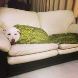 Cão acolhedor em um sofá foto de stock royalty free