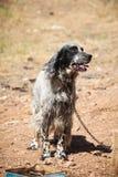Cão acorrentado Foto de Stock