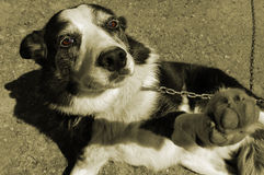 Cão acorrentado Fotos de Stock Royalty Free