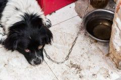 Cão acorrentado Imagens de Stock Royalty Free