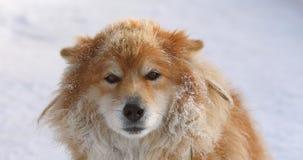 Cão acorrentado vermelho macio fora no inverno na vista da neve vídeos de arquivo